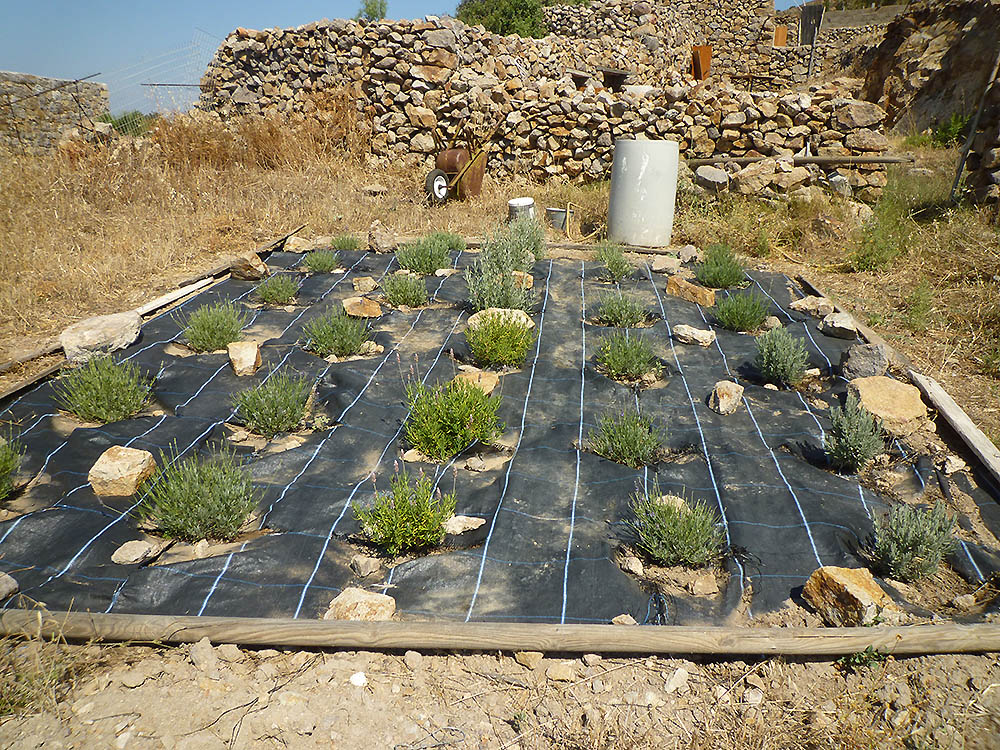 δοκιμαστικές καλλιέργειες- ανθοτάπητες λεβάντας